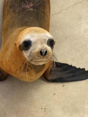 Rescued Sea Lion Found Shot Was Euthanized